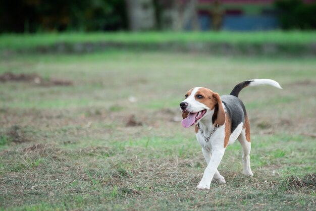 Cute puppy beagle running and playing with pink ball on the lawn