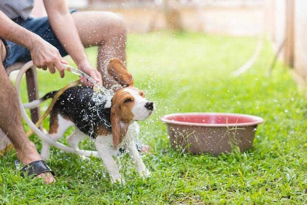 Cute puppy beagle taking a shower