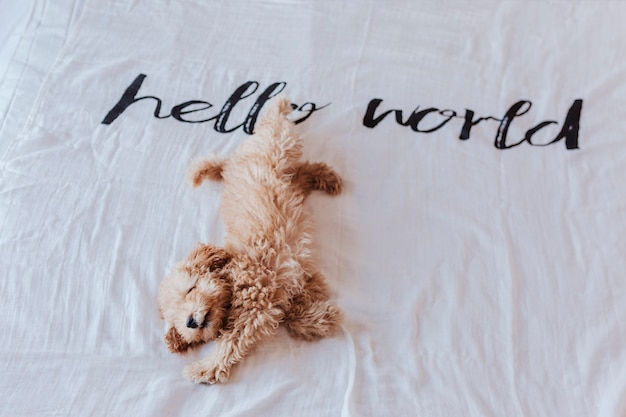 Cute puppy brown toy poodle lying on bed with a hello world white blanket. lifestyle indoors