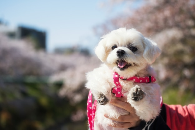 Cute puppy and cherry blossom