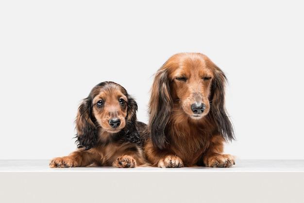 白い壁に隔離されたポーズかわいい子犬ダックスフント