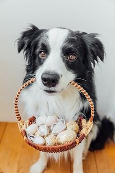 Симпатичный щенок бордер-колли держит корзину с пасхальными разноцветными яйцами во рту на белом дома в помещении