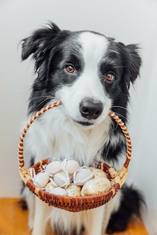 Cute puppy dog border collie holding basket with easter colorful eggs in mouth on white background at home indoor