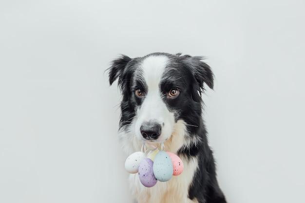 Милый щенок бордер-колли держит во рту красочные пасхальные яйца, изолированные на белом