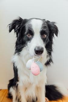 Милый щенок бордер-колли держит во рту красочные пасхальные яйца на белом у себя дома