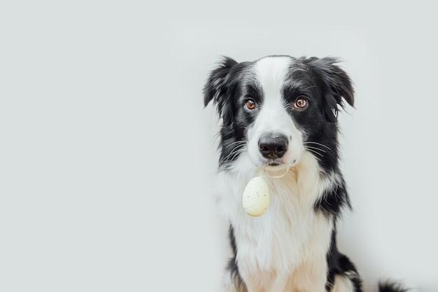 Милый щенок бордер-колли, держащий во рту пасхальное яйцо, изолированное на белом