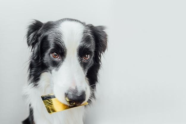 흰색 배경에 고립 입에 금 은행 신용 카드를 들고 귀여운 강아지 보더 콜리
