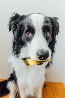 흰색 배경에 입에 골드 은행 신용 카드를 들고 귀여운 강아지 보더 콜리