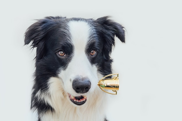 Cute puppy dog border collie holding miniature champion trophy cup in mouth isolated on white