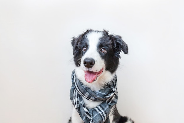 Cute puppy dog border collie wearing scarf around neck