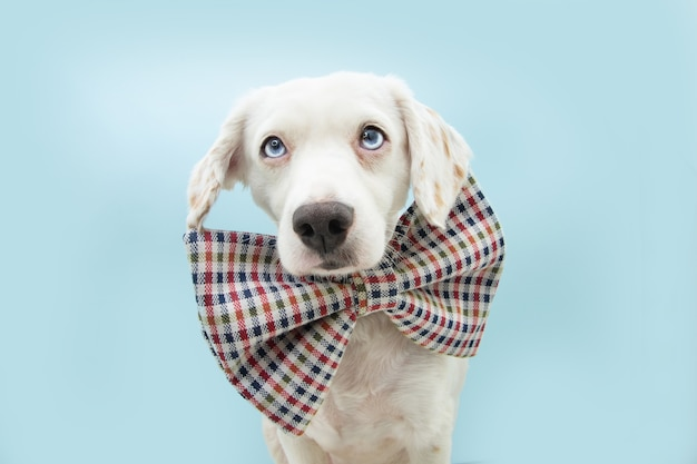 Cute puppy dog celebrating birthday or carnival wearing a checkered bowtie. isolated on blue pastel background
