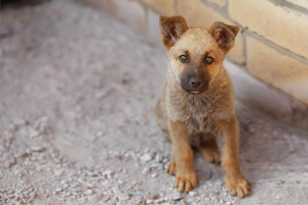 カメラを見ているかわいい子犬犬羊飼い、コピースペース
