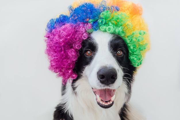 白い背景で隔離のカラフルな巻き毛のピエロのかつらを身に着けている変な顔のボーダーコリーとかわいい子犬犬。カーニバルやハロウィーンパーティーでピエロの衣装を着た面白い犬の肖像画。サーカスのペットの犬。