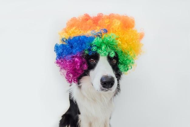 白で隔離のカラフルな巻き毛のピエロのかつらを身に着けている変な顔のボーダーコリーとかわいい子犬の犬