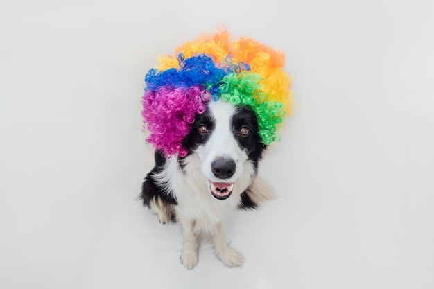 Cute puppy dog with funny face border collie wearing colorful curly clown wig isolated on white