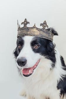 Милый щенок с забавным лицом бордер-колли в королевской короне, изолированном на белом