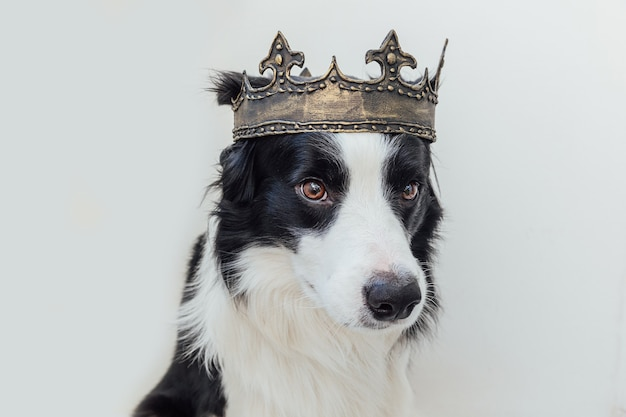 Cute puppy dog with funny face border collie wearing king crown isolated on white background
