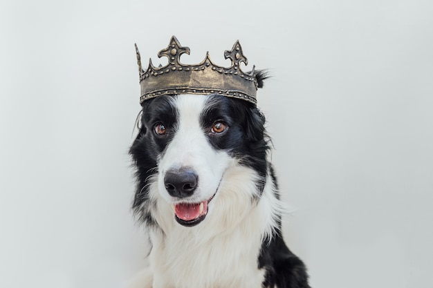 Cute puppy dog with funny face border collie wearing king crown isolated on white