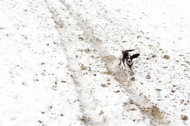 Милый щенок английского спрингер-спаниеля прогулка по первому снегу.