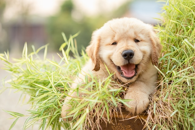 Cute puppy (golden retriever) eating small bamboo plants