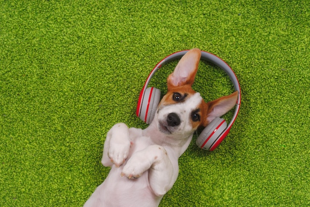 Cute puppy lying on green carpet and listen to music on headphones.