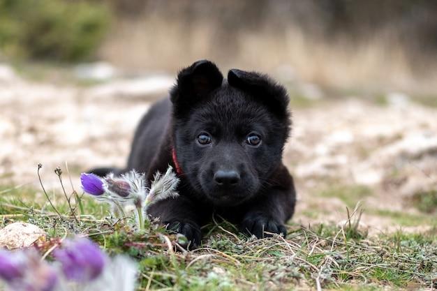Милый щенок чёрной немецкой овчарки лежит на траве