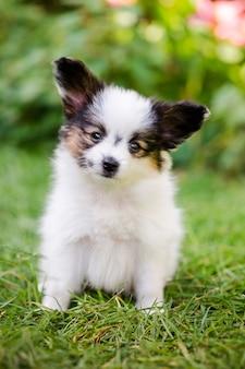 정원에서 푸른 잔디에 품종 빠삐용의 귀여운 강아지