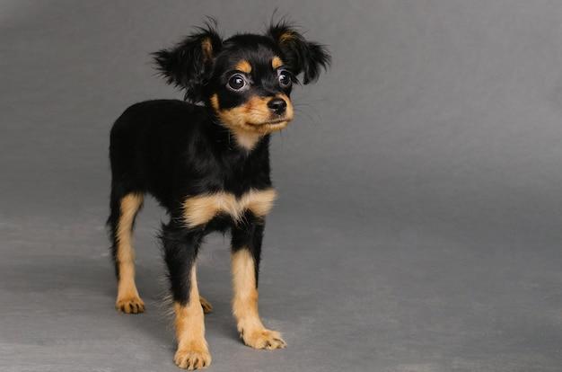 회색 배경에 러시아 장난감 테리어의 귀여운 강아지. -이미지