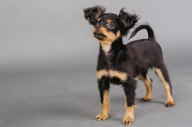 회색 배경에 러시아 장난감 테리어의 귀여운 강아지.