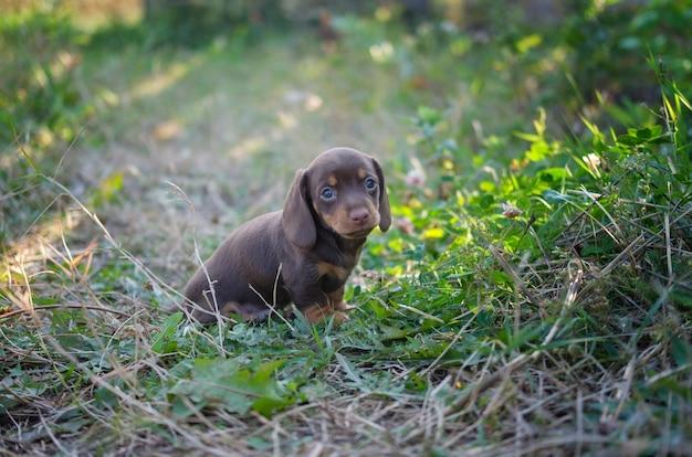 커피 색의 닥스훈트 품종의 귀여운 강아지가 풀밭을 걷습니다.