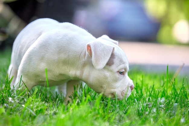 Cute puppy playing on the grass on the background of the car. concept of the first steps of life, animals, a new generation. puppy american bull.