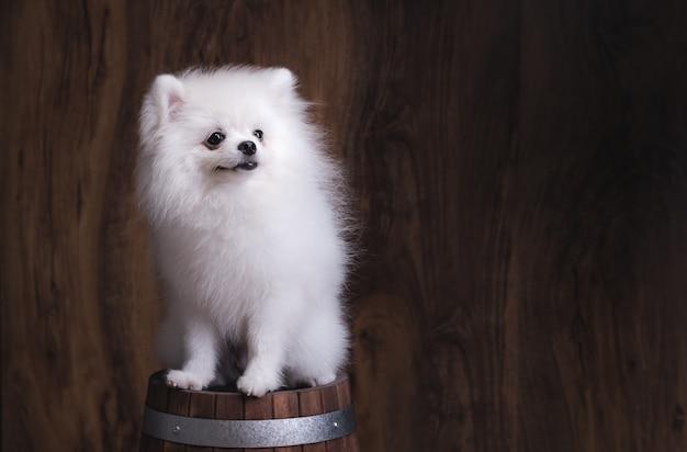 木製のバケツに座っているかわいい子犬ポメラニアン犬。