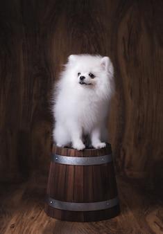 Cute puppy pomeranian dog sitting on a wooden bucket.
