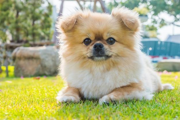 Милый щенок померанского шпица смешанной породы пекинес, сидя на траве от счастья.