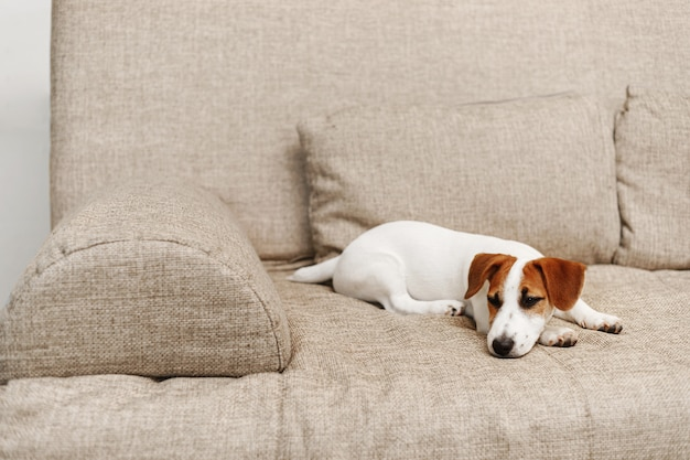 Cute puppy sleeping on sofa at home.
