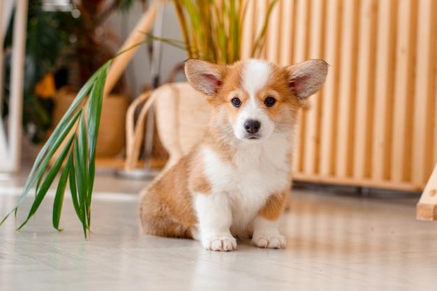 Cute puppy welsh corgi side hid behind the palm house