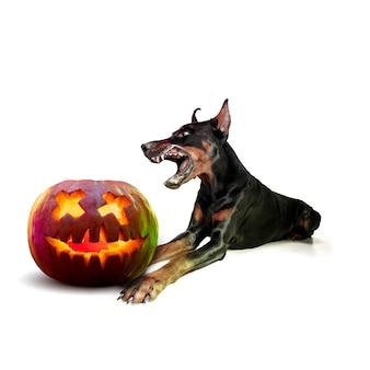 白いスタジオの背景に分離されたハロウィーンのジャック・オー・ランタンのカボチャとかわいい子犬。伝統的な装飾で秋の休日に出会う。ペットの愛、楽しさ、販売、広告の概念。コピースペース。