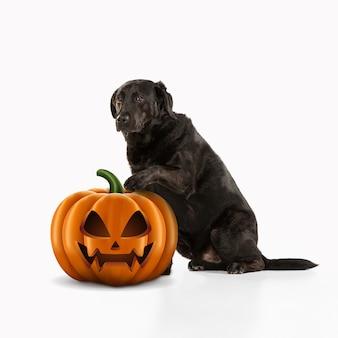 白いスタジオの背景に分離されたハロウィーンのジャック・オー・ランタンのカボチャとかわいい子犬。伝統的な装飾で秋の休日に会います。ペットの愛、楽しさ、販売、広告の概念。コピースペース。