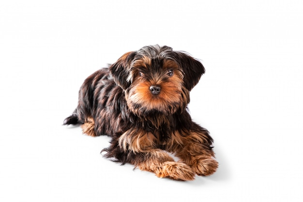Cute puppy of the yorkshire terrier lies on white