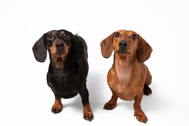 Simpatici cani di razza in uno studio