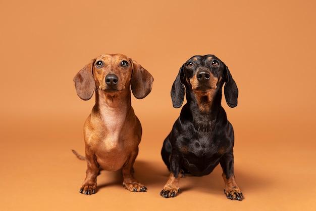 Cute purebred dogs in a studio