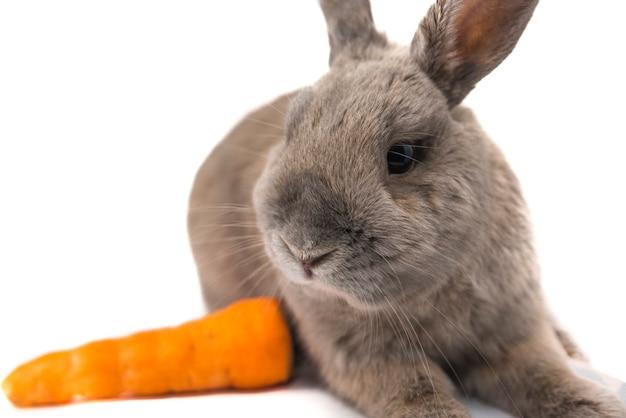 귀여운 토끼 회색은 거짓말을 하고 흰색 배경에 격리된 당근을 본다