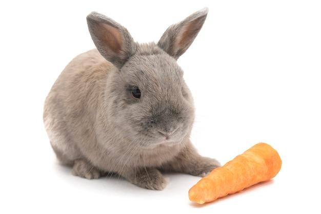 귀여운 토끼 회색 흰색 배경에 고립 된 당근 앞에 앉아