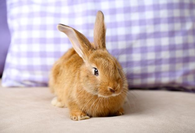 ソファの上のかわいいウサギ、クローズアップ