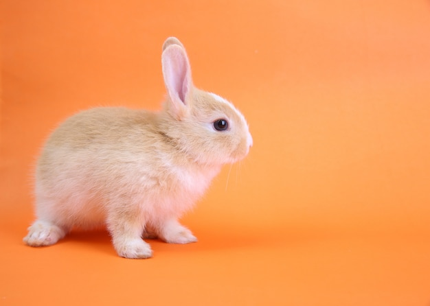 A cute rabbit on orange
