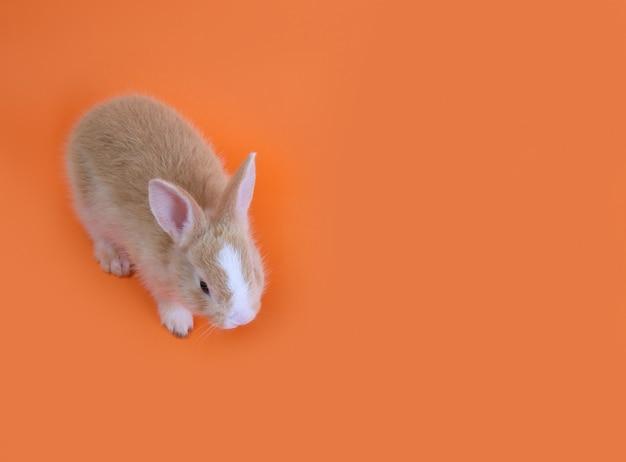 A cute rabbit on orange