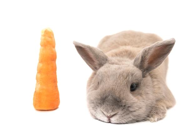 흰색 배경에 격리된 당근 옆에 누워 있는 귀를 벌린 귀여운 토끼