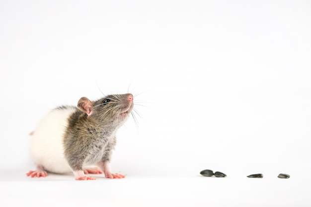 Cute rat sitting on a white  are sunflower seeds