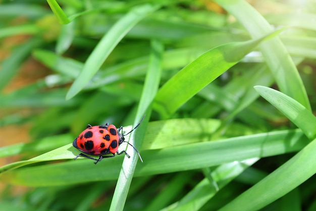 A cute red and black bug on the green grass in summer morning selective focus animal and wildlife