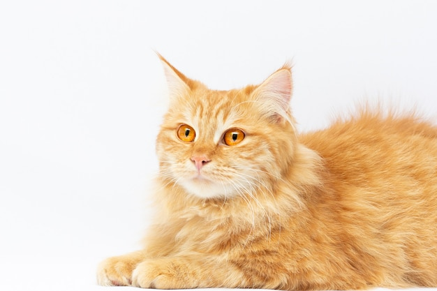 白い背景で隔離横臥かわいい赤い猫